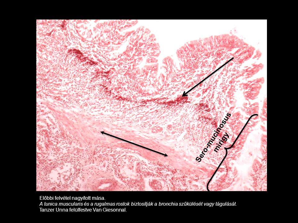 Előbbi felvétel nagyított mása. A tunica muscularis és a rugalmas rostok biztosítják a bronchia szűkülését vagy tágulását. Tanzer Unna felülfestve Van