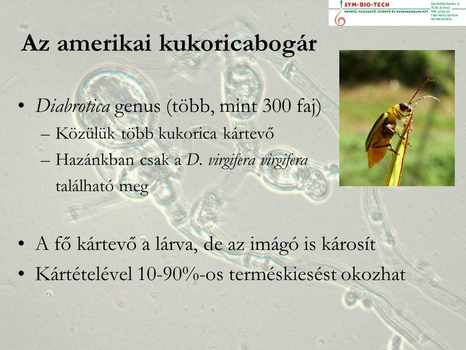 A lárvák kártétele A lárvák a kukorica gyökerén képesek csak megfelelően kifejlődni, ám több termesztett és gyomnövény gyökerét fogyaszthatják létfenntartó táplálékként.