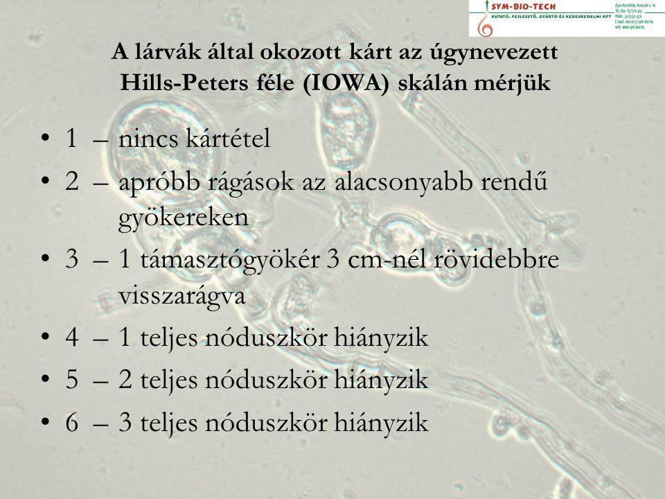 A lárvák által okozott kárt az úgynevezett Hills-Peters féle (IOWA) skálán mérjük 1 – nincs kártétel 2 – apróbb rágások az alacsonyabb rendű gyökereken 3 – 1 támasztógyökér 3 cm-nél rövidebbre visszarágva 4 – 1 teljes nóduszkör hiányzik 5 – 2 teljes nóduszkör hiányzik 6 – 3 teljes nóduszkör hiányzik