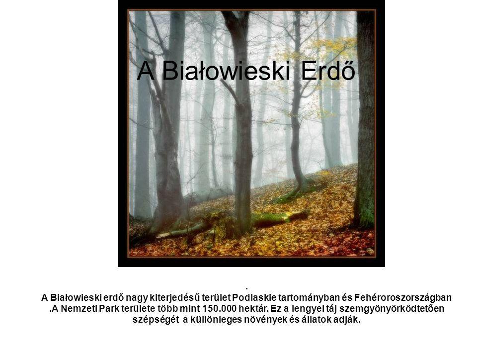 A Białowieski Erdő. A Białowieski erdő nagy kiterjedésű terület Podlaskie tartományban és Fehéroroszországban.A Nemzeti Park területe több mint 150.00