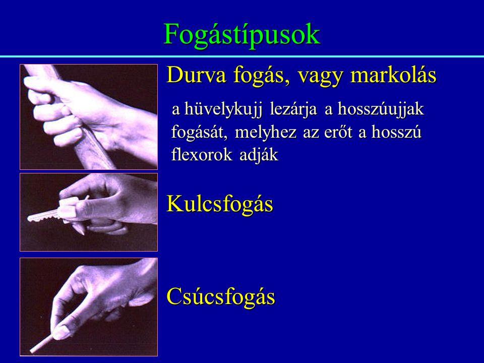Fogástípusok Durva fogás, vagy markolás a hüvelykujj lezárja a hosszúujjak a hüvelykujj lezárja a hosszúujjak fogását, melyhez az erőt a hosszú fogását, melyhez az erőt a hosszú flexorok adják flexorok adják Kulcsfogás Csúcsfogás
