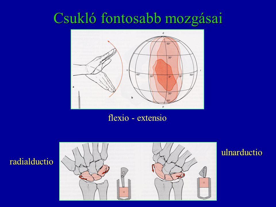 radialductio ulnarductio Csukló fontosabb mozgásai flexio - extensio