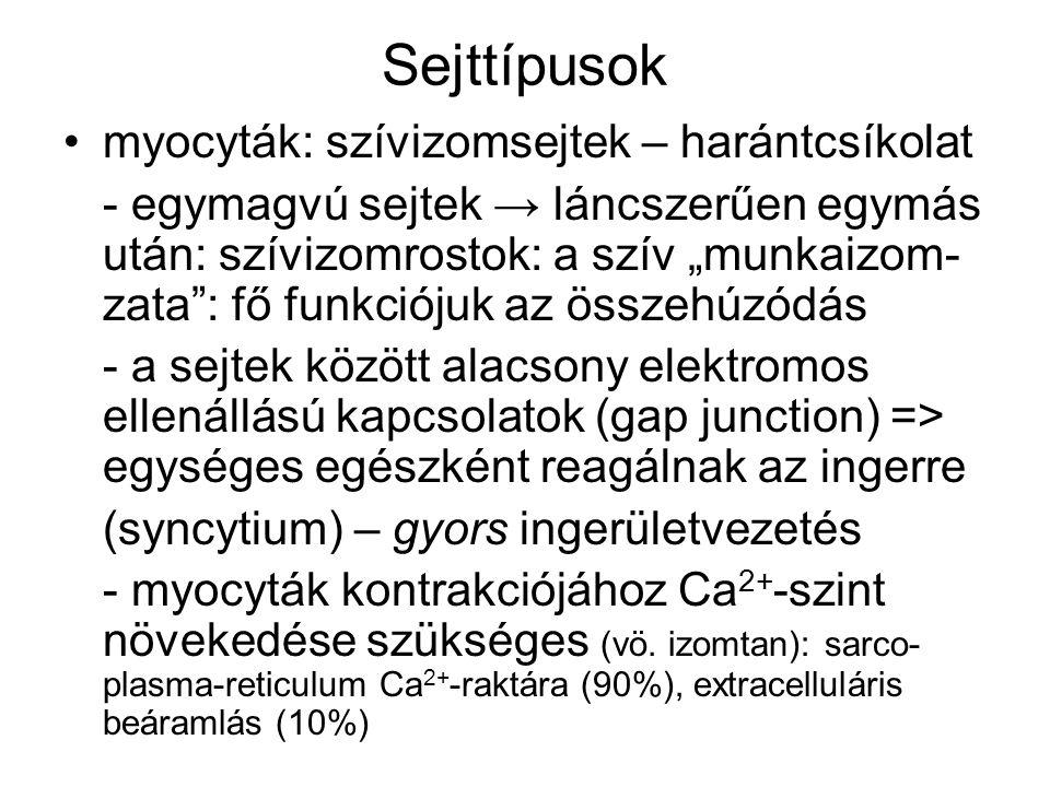 Kisebb számban egyéb, speciális sejtek: ingerképzés és ingerületvezetés sejtjei a) nodalis szövet: - szinuszcsomó (nodus sinuatrialis; SA- csomó; Keith-Flack-csomó ) - pitvar-kamrai csomó (nodus atrioventri- cularis; AV-csomó; Aschoff-Tawara-csomó ) - spontán membrándepolarizáció - lassú ingerületvezetés b) His-köteg, Tawara-szárak (jobb-bal), Purkinje-rostok - gyors ingerületvezetés