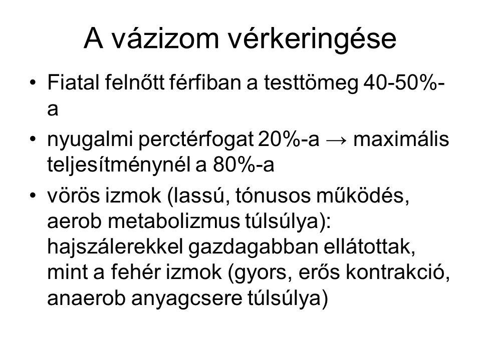 A vázizom vérkeringése Fiatal felnőtt férfiban a testtömeg 40-50%- a nyugalmi perctérfogat 20%-a → maximális teljesítménynél a 80%-a vörös izmok (lass