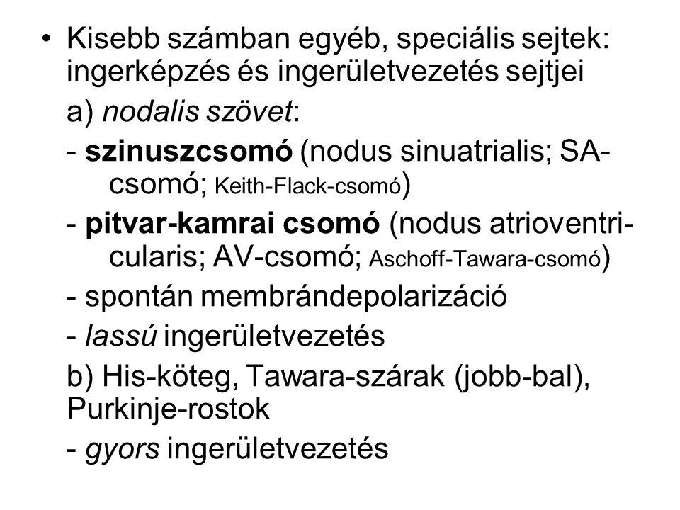 Kisebb számban egyéb, speciális sejtek: ingerképzés és ingerületvezetés sejtjei a) nodalis szövet: - szinuszcsomó (nodus sinuatrialis; SA- csomó; Keit