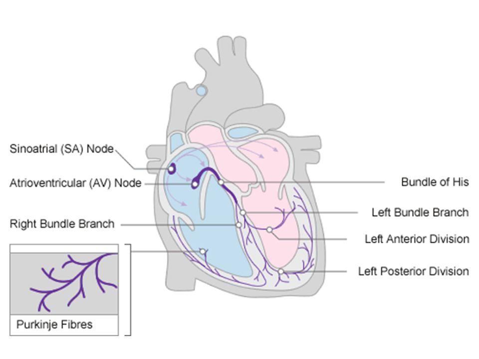 """Idegi szabályozóközpontok: Nyúltvelői rostro-ventrolateralis neuroncsopor- tok (RVLM): szimpatikus efferensek irányí- tása: - érösszehúzó (vasoconstrictor) idegek - szívszabályozás => """"presszorválasz : vérnyomás, szívfrek- vencia, szívösszehúzódások ereje ↑ - összegzik a perifériás receptoroktól + a felsőbb központokból jövő információkat - ezen neuroncsoportok + a légzésszabá- lyozók épsége létfontosságú: vérzés, érelzáródás, gyulladás, mechanikai nyomás, sérülés => általában halálos"""