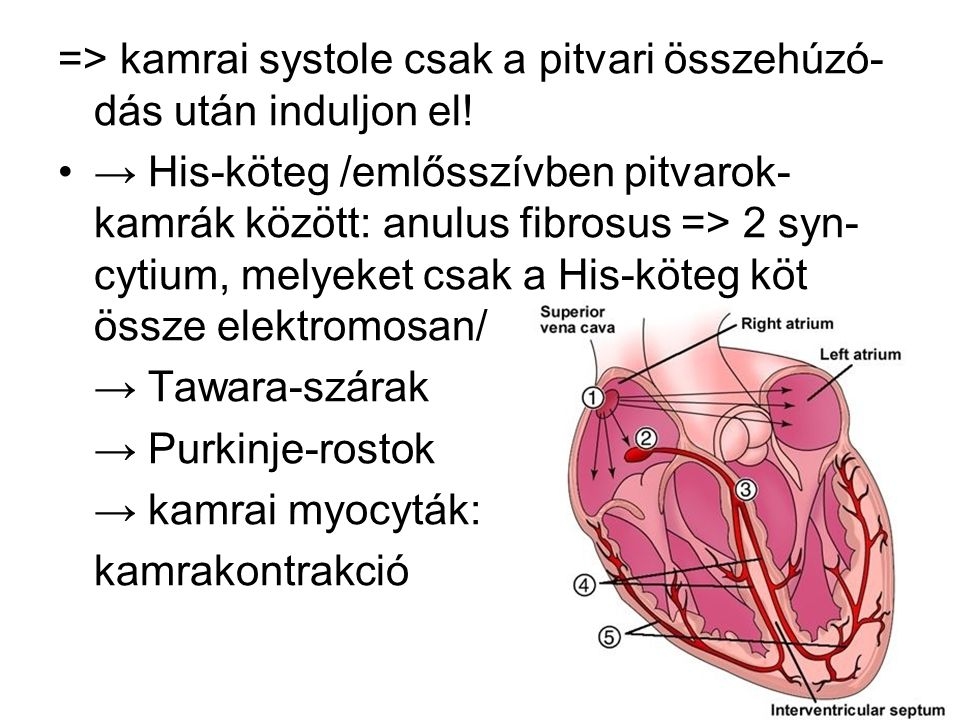 => kamrai systole csak a pitvari összehúzó- dás után induljon el! → His-köteg /emlősszívben pitvarok- kamrák között: anulus fibrosus => 2 syn- cytium,