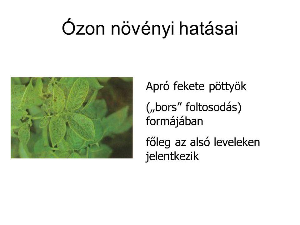 """Ózon növényi hatásai Apró fekete pöttyök (""""bors foltosodás) formájában főleg az alsó leveleken jelentkezik"""