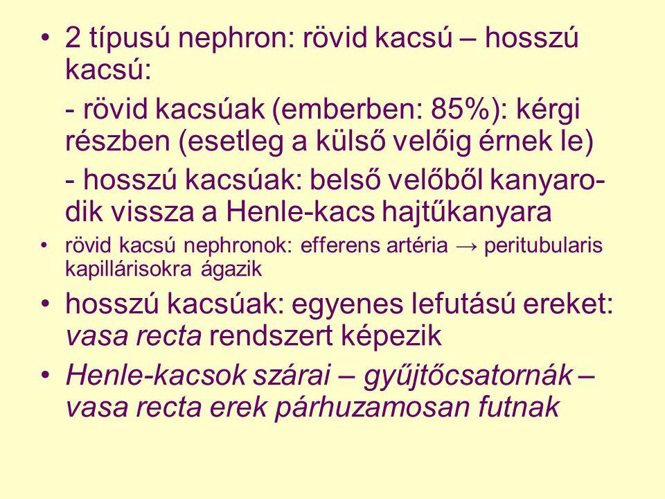 2 típusú nephron: rövid kacsú – hosszú kacsú: - rövid kacsúak (emberben: 85%): kérgi részben (esetleg a külső velőig érnek le) - hosszú kacsúak: belső