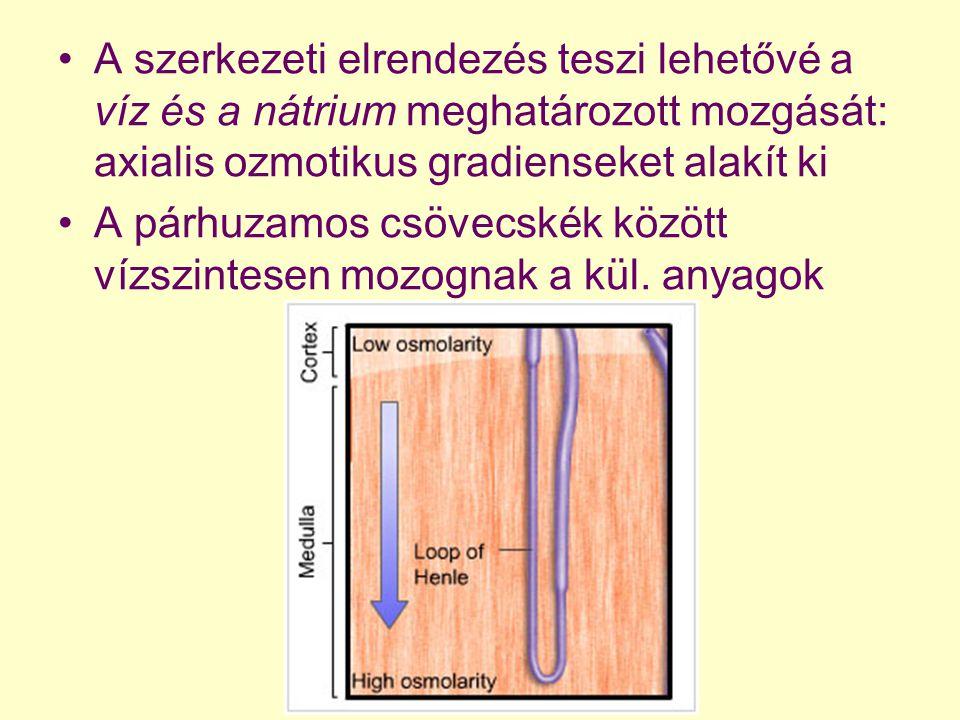 A szerkezeti elrendezés teszi lehetővé a víz és a nátrium meghatározott mozgását: axialis ozmotikus gradienseket alakít ki A párhuzamos csövecskék köz
