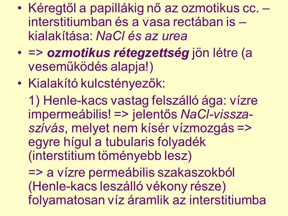 Kéregtől a papillákig nő az ozmotikus cc. – interstitiumban és a vasa rectában is – kialakítása: NaCl és az urea => ozmotikus rétegzettség jön létre (