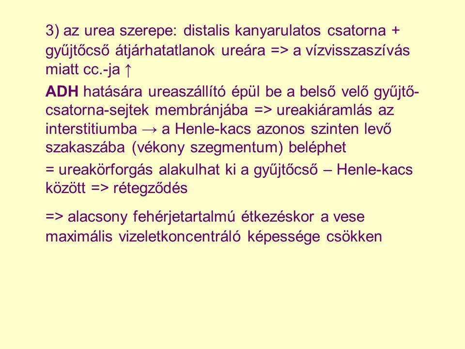 3) az urea szerepe: distalis kanyarulatos csatorna + gyűjtőcső átjárhatatlanok ureára => a vízvisszaszívás miatt cc.-ja ↑ ADH hatására ureaszállító ép