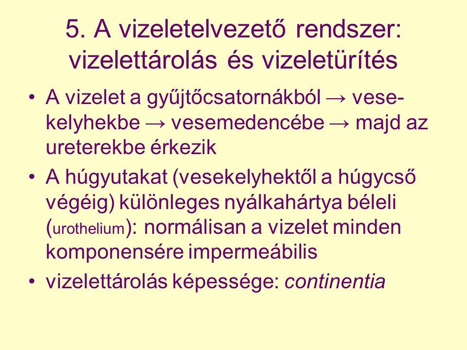 5. A vizeletelvezető rendszer: vizelettárolás és vizeletürítés A vizelet a gyűjtőcsatornákból → vese- kelyhekbe → vesemedencébe → majd az ureterekbe é