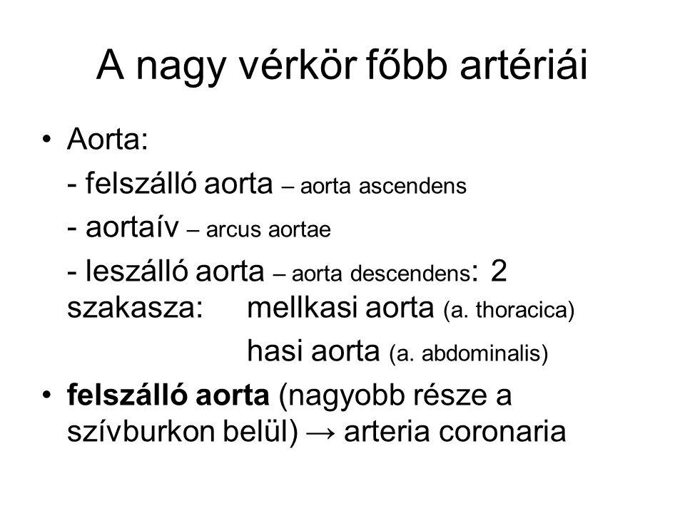 Aorta: - felszálló aorta – aorta ascendens - aortaív – arcus aortae - leszálló aorta – aorta descendens : 2 szakasza: mellkasi aorta (a. thoracica) ha
