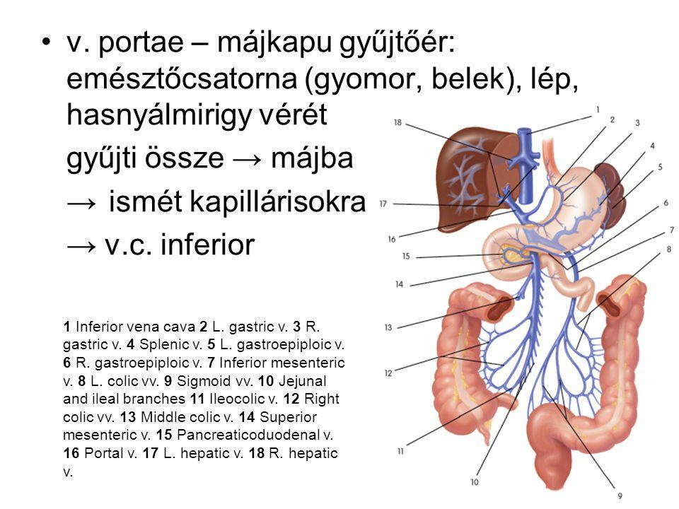 v. portae – májkapu gyűjtőér: emésztőcsatorna (gyomor, belek), lép, hasnyálmirigy vérét gyűjti össze → májba →ismét kapillárisokra → v.c. inferior 1 I