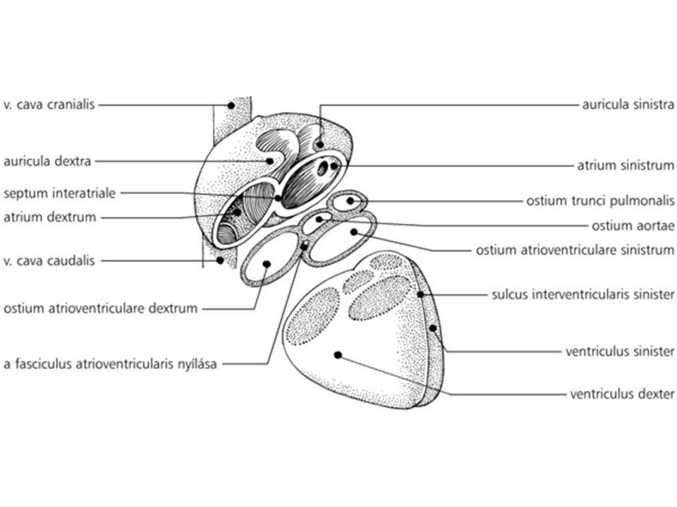 → alsó bélfodor-artéria; páratlan; a.m. inf.) : vastagbelek, végbél egy része → veseartéria ( a.