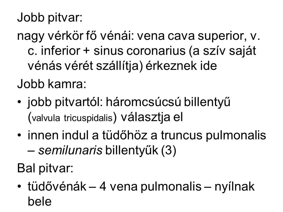 Jobb pitvar: nagy vérkör fő vénái: vena cava superior, v. c. inferior + sinus coronarius (a szív saját vénás vérét szállítja) érkeznek ide Jobb kamra:
