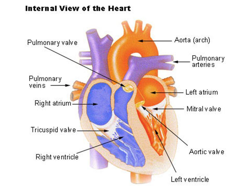 A vénás rendszer Sok anasztomózis => 1-1 kis véna elzáró- dásának nincs jelentős következménye tágulékonyságuk ~20x-sa az artériákénak Billentyűk => egyirányú áramlás az izomösszehúzódás kiemelten fontos a vénás keringés segítésében → testmoz- gás.