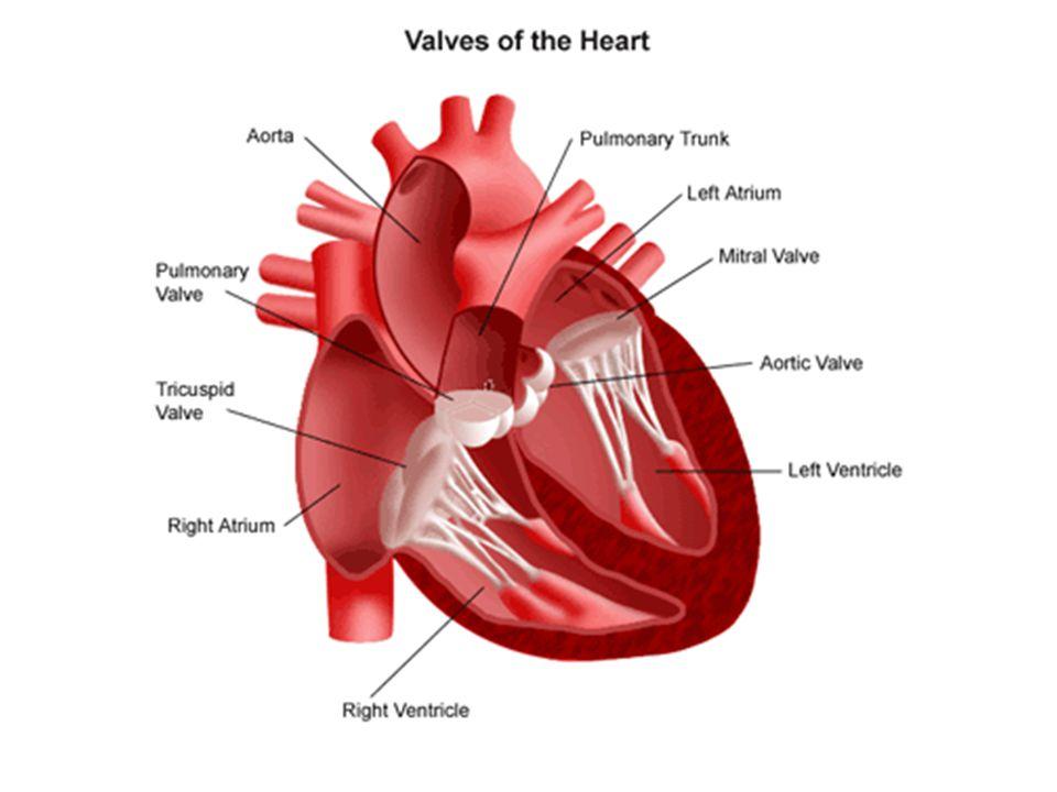 Érrendszer (systema vasorum) Kis vérkör = tüdőkeringés (pulmonalis ker.): Jobb kamra → truncus pulmonalis → 2 arteria pulmonalis → kisebb erek → 4 vena pulmonalis → bal pitvar Nagy vérkör = szisztémás keringés: Bal kamra → aorta → kisebb erek a testben → alsó és felső fő visszér (vena cava inferior et superior) → jobb pitvar