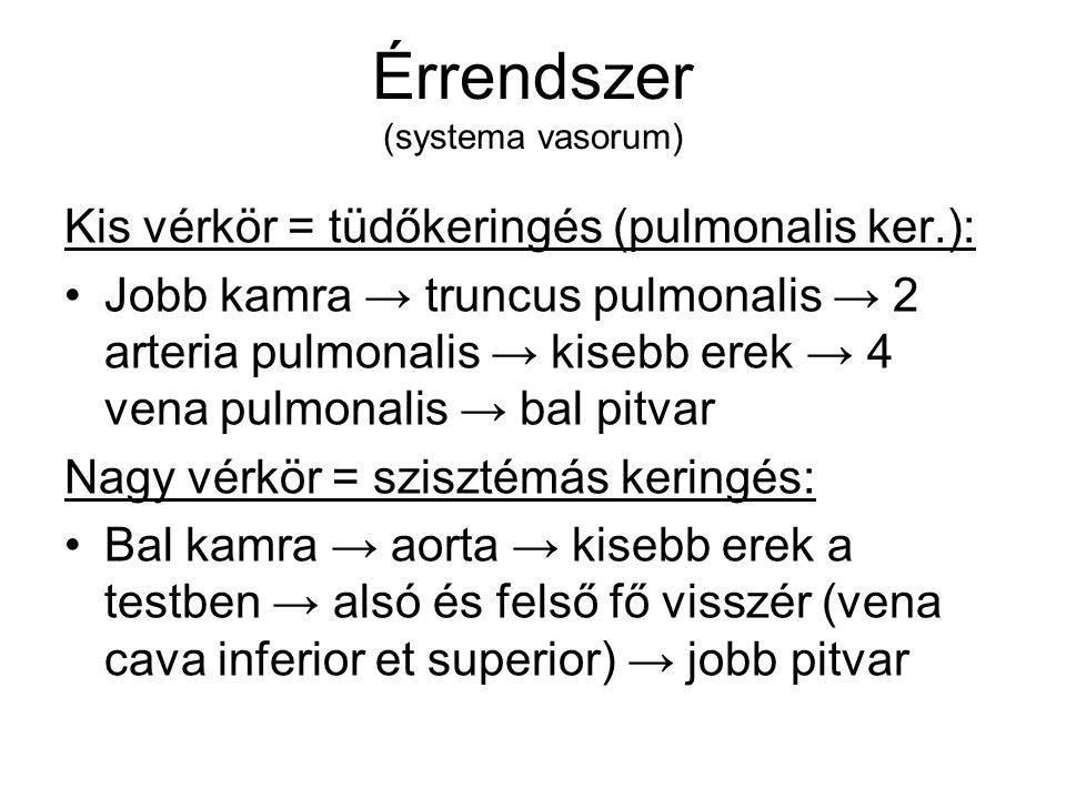 Érrendszer (systema vasorum) Kis vérkör = tüdőkeringés (pulmonalis ker.): Jobb kamra → truncus pulmonalis → 2 arteria pulmonalis → kisebb erek → 4 ven