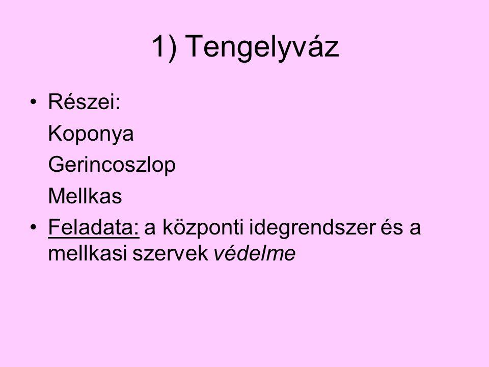 1) Tengelyváz Részei: Koponya Gerincoszlop Mellkas Feladata: a központi idegrendszer és a mellkasi szervek védelme