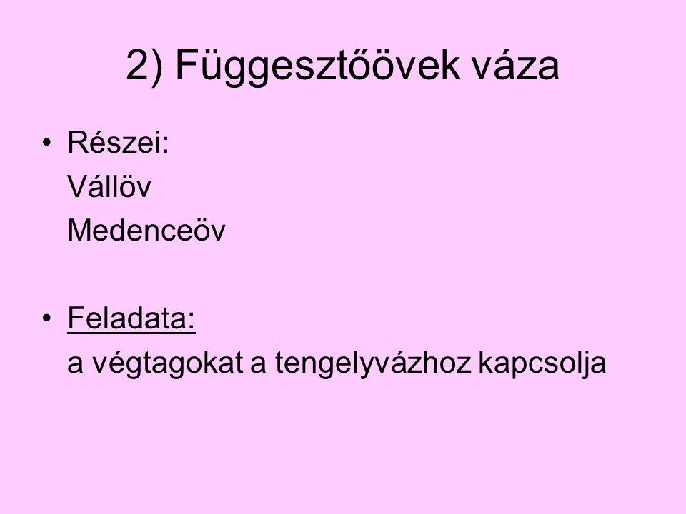 2) Függesztőövek váza Részei: Vállöv Medenceöv Feladata: a végtagokat a tengelyvázhoz kapcsolja