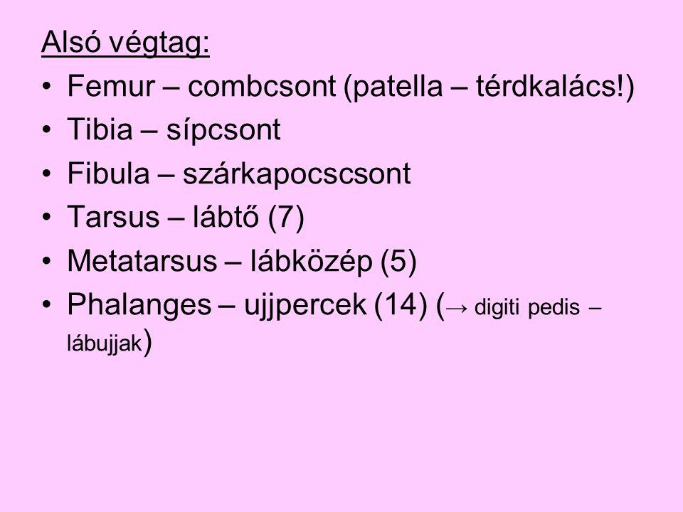 Alsó végtag: Femur – combcsont (patella – térdkalács!) Tibia – sípcsont Fibula – szárkapocscsont Tarsus – lábtő (7) Metatarsus – lábközép (5) Phalange