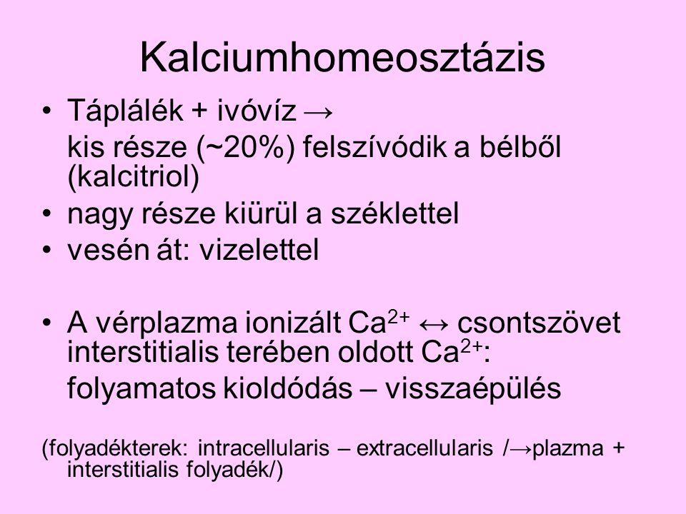 Kalciumhomeosztázis Táplálék + ivóvíz → kis része (~20%) felszívódik a bélből (kalcitriol) nagy része kiürül a széklettel vesén át: vizelettel A vérpl