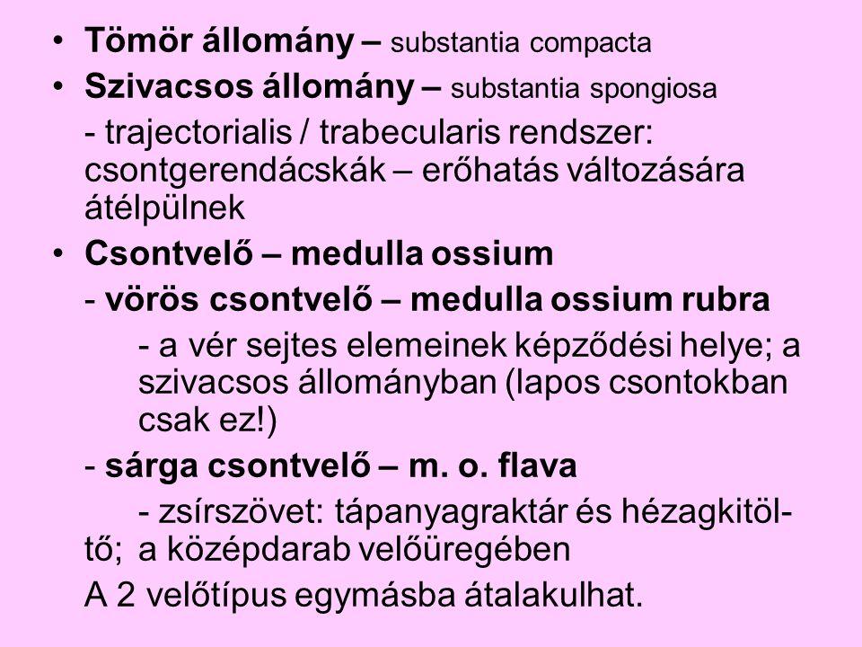 Tömör állomány – substantia compacta Szivacsos állomány – substantia spongiosa - trajectorialis / trabecularis rendszer: csontgerendácskák – erőhatás