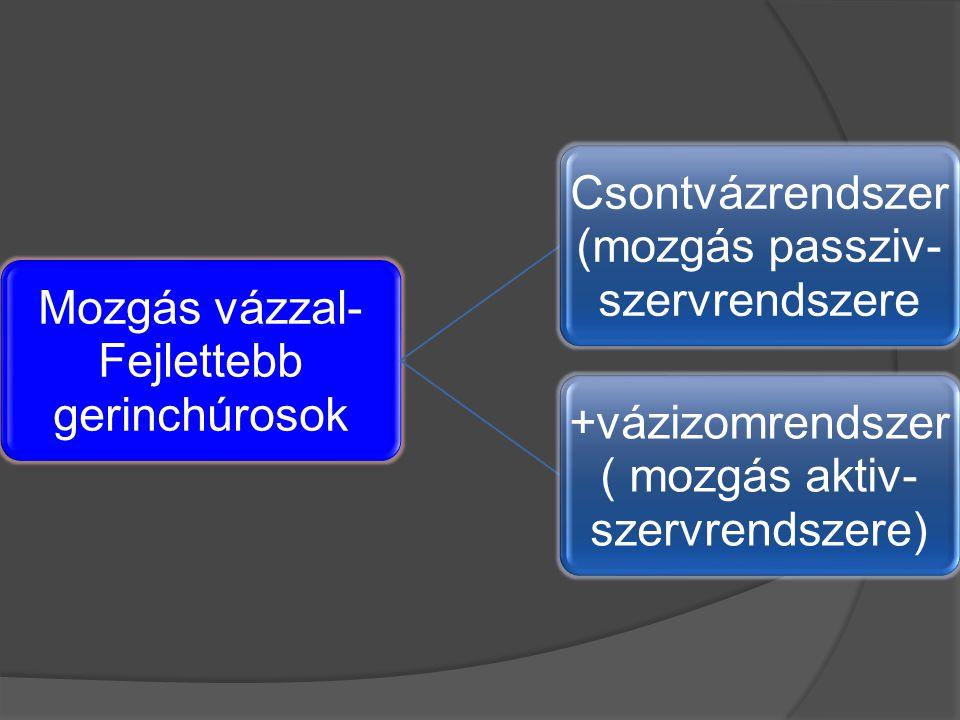 Mozgás vázzal- Fejlettebb gerinchúrosok Csontvázrendszer (mozgás passziv- szervrendszere +vázizomrendszer ( mozgás aktiv- szervrendszere)