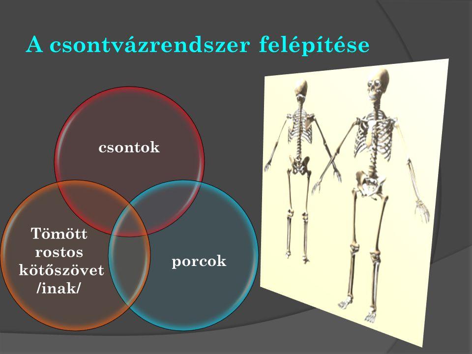 A csontvázrendszer felépítése csontok porcok Tömött rostos kötőszövet /inak/