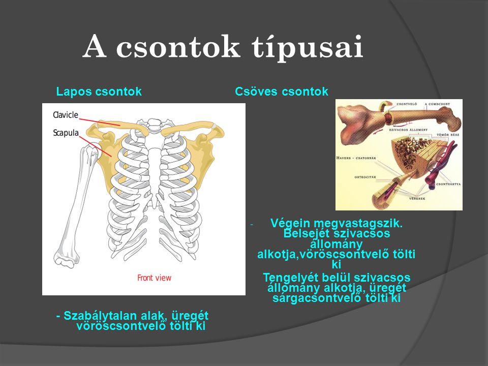 A csontok típusai Lapos csontok - Szabálytalan alak, üregét vöröscsontvelő tölti ki Csöves csontok -V-Végein megvastagszik. Belsejét szivacsos állomán