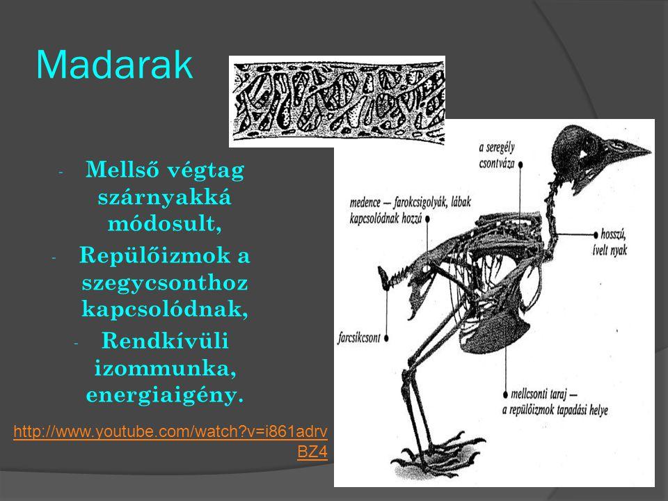 Madarak - Mellső végtag szárnyakká módosult, - Repülőizmok a szegycsonthoz kapcsolódnak, - Rendkívüli izommunka, energiaigény. http://www.youtube.com/