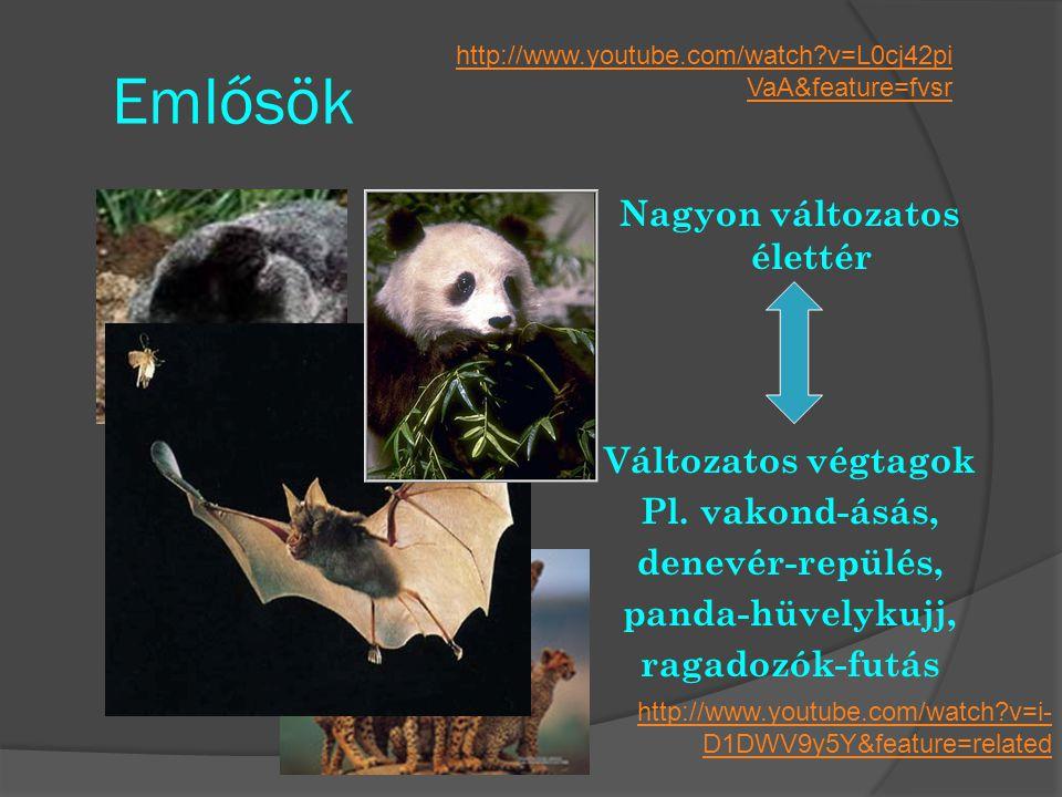Emlősök Nagyon változatos élettér Változatos végtagok Pl. vakond-ásás, denevér-repülés, panda-hüvelykujj, ragadozók-futás http://www.youtube.com/watch