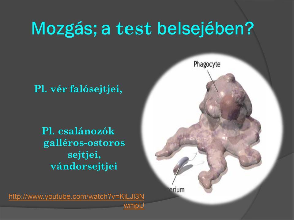 Mozgás; a test belsejében? Pl. vér falósejtjei, Pl. csalánozók galléros-ostoros sejtjei, vándorsejtjei http://www.youtube.com/watch?v=KiLJl3N wmpU
