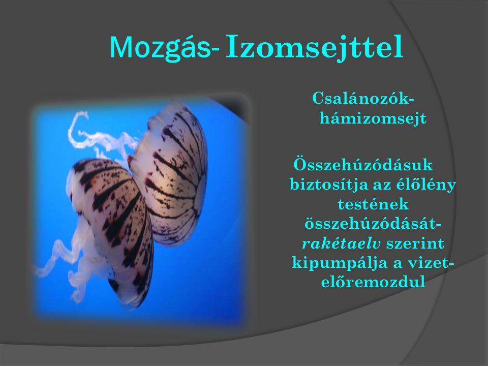 Mozgás- Izomsejttel Csalánozók- hámizomsejt Összehúzódásuk biztosítja az élőlény testének összehúzódását- rakétaelv szerint kipumpálja a vizet- előrem