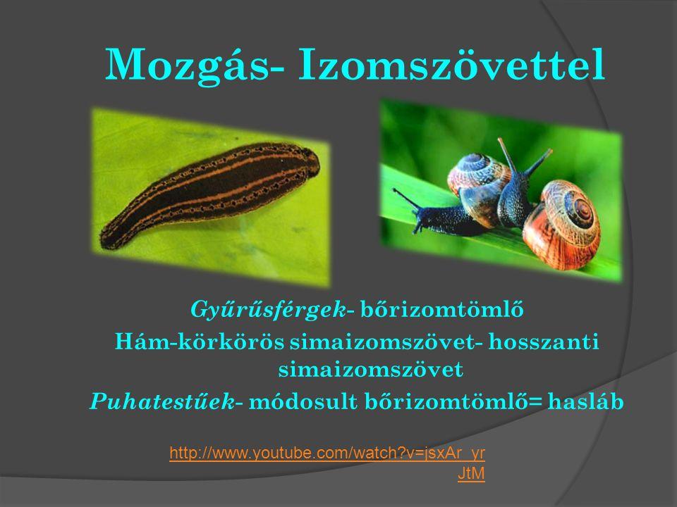 Mozgás- Izomszövettel Gyűrűsférgek - bőrizomtömlő Hám-körkörös simaizomszövet- hosszanti simaizomszövet Puhatestűek - módosult bőrizomtömlő= hasláb ht