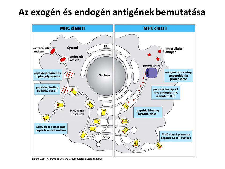 Az exogén és endogén antigének bemutatása