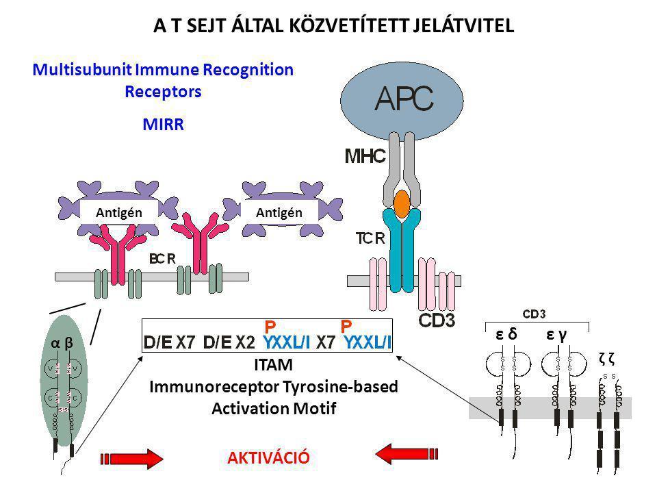 α βα β ε δ ε γ ζ ζζ ζ ITAM Immunoreceptor Tyrosine-based Activation Motif AKTIVÁCIÓ A T SEJT ÁLTAL KÖZVETÍTETT JELÁTVITEL Multisubunit Immune Recognit