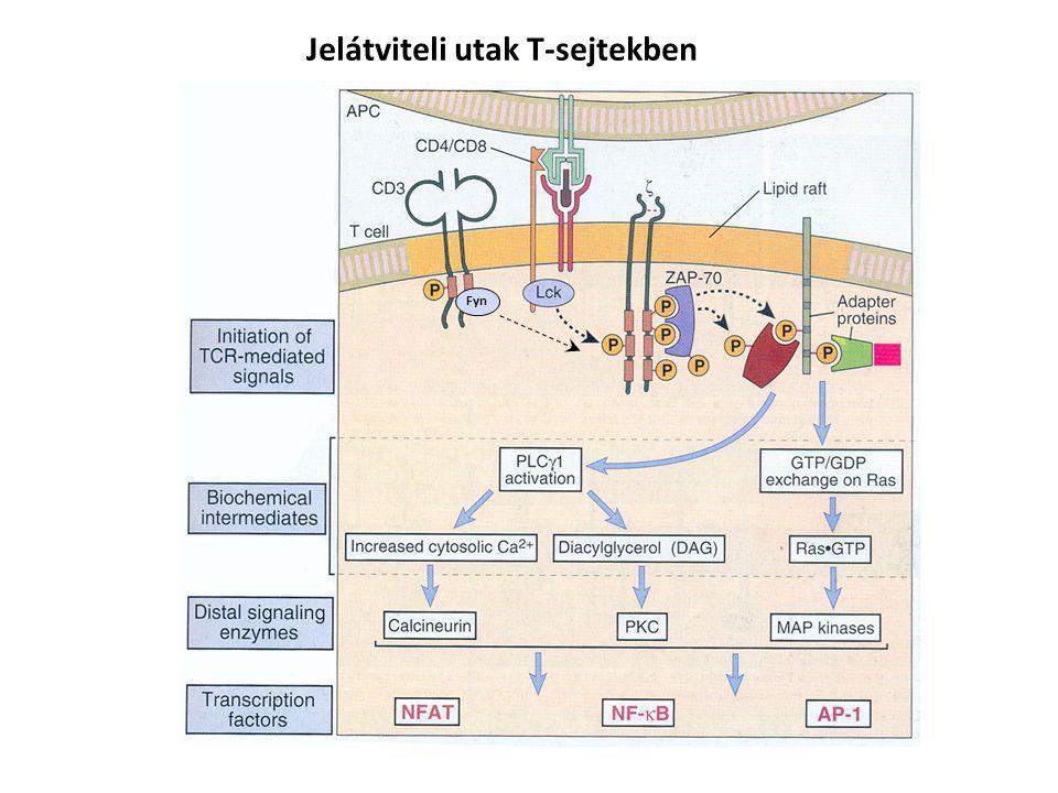 Jelátviteli utak T-sejtekben Fyn