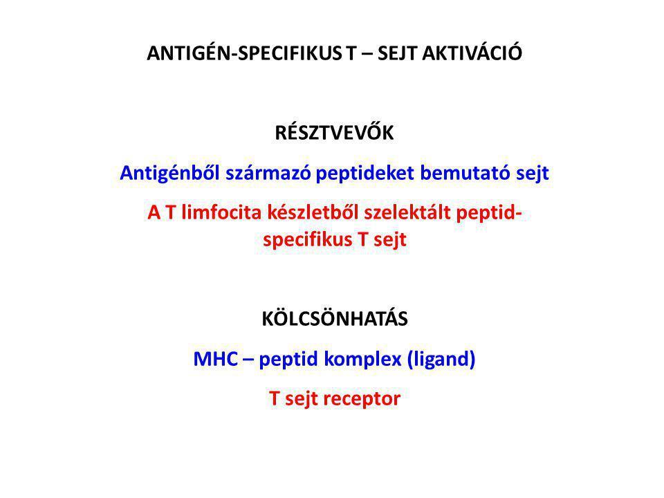 ANTIGÉN-SPECIFIKUS T – SEJT AKTIVÁCIÓ RÉSZTVEVŐK Antigénből származó peptideket bemutató sejt A T limfocita készletből szelektált peptid- specifikus T sejt KÖLCSÖNHATÁS MHC – peptid komplex (ligand) T sejt receptor
