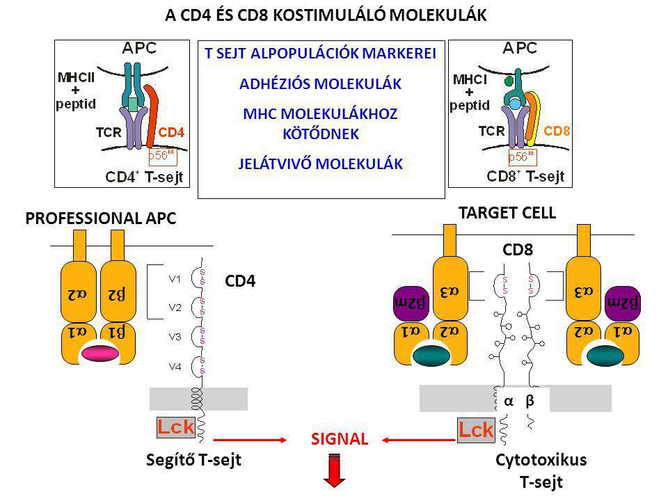 Segítő T-sejt CD4 A CD4 ÉS CD8 KOSTIMULÁLÓ MOLEKULÁK SIGNAL 22 11 22 11 PROFESSIONAL APC CD8 Cytotoxikus T-sejt α β TARGET CELL 11 33 22