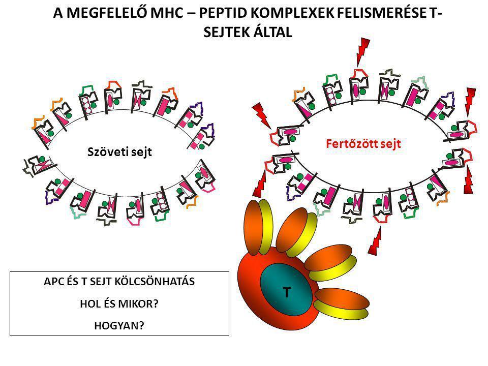 Transzkripciós faktorok szerepe a T-sejt aktivációban