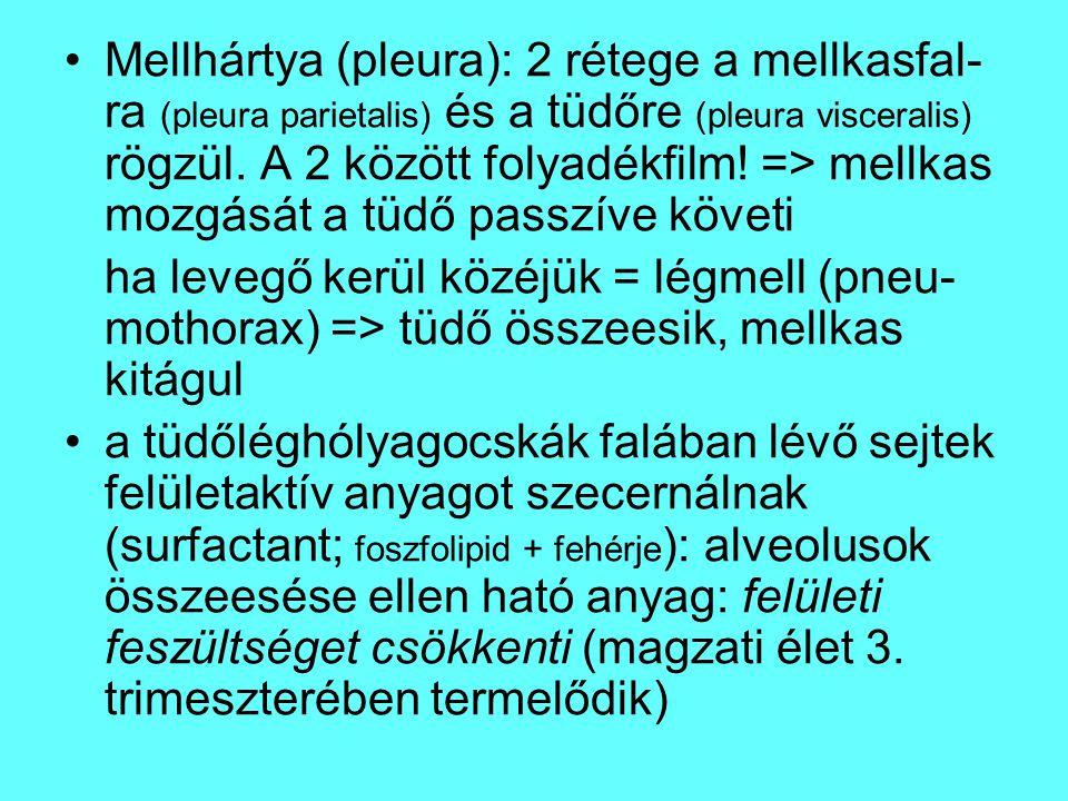 Mellhártya (pleura): 2 rétege a mellkasfal- ra (pleura parietalis) és a tüdőre (pleura visceralis) rögzül. A 2 között folyadékfilm! => mellkas mozgásá