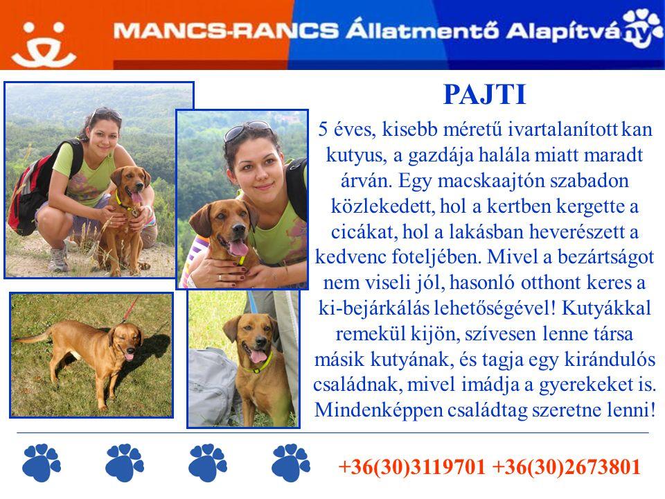 +36(30)3119701 +36(30)2673801 PAJTI 5 éves, kisebb méretű ivartalanított kan kutyus, a gazdája halála miatt maradt árván. Egy macskaajtón szabadon köz