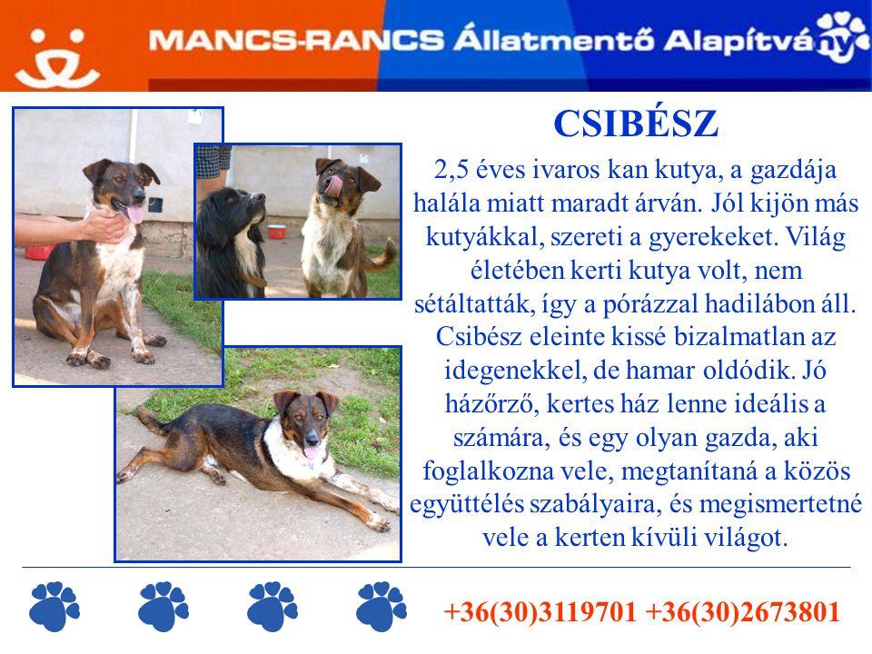 +36(30)3119701 +36(30)2673801 CSIBÉSZ 2,5 éves ivaros kan kutya, a gazdája halála miatt maradt árván. Jól kijön más kutyákkal, szereti a gyerekeket. V