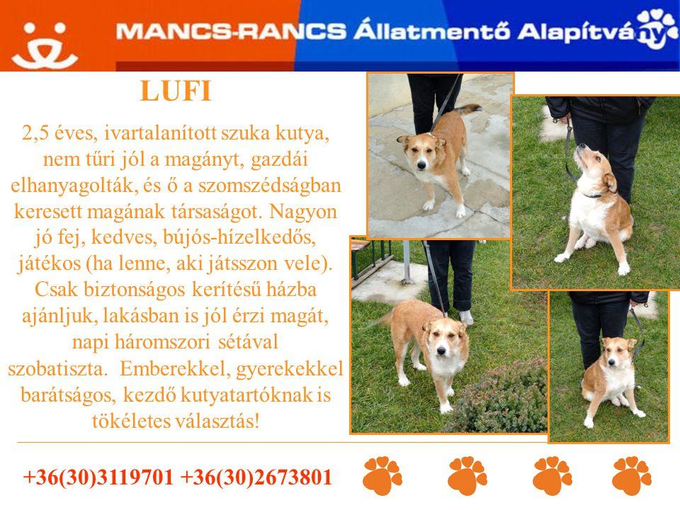 LUFI 2,5 éves, ivartalanított szuka kutya, nem tűri jól a magányt, gazdái elhanyagolták, és ő a szomszédságban keresett magának társaságot. Nagyon jó
