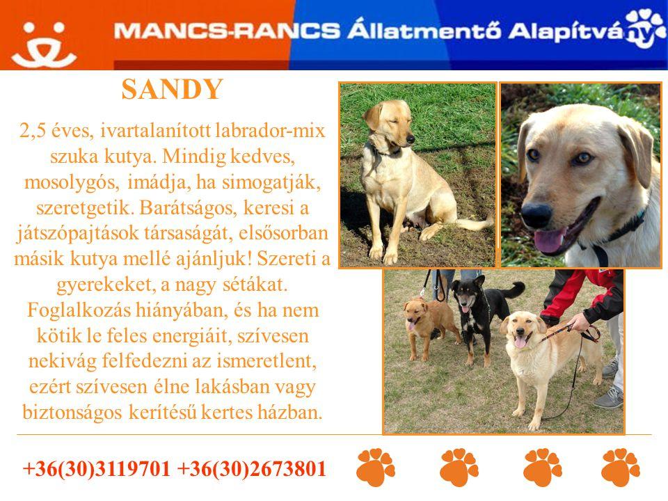 SANDY 2,5 éves, ivartalanított labrador-mix szuka kutya. Mindig kedves, mosolygós, imádja, ha simogatják, szeretgetik. Barátságos, keresi a játszópajt