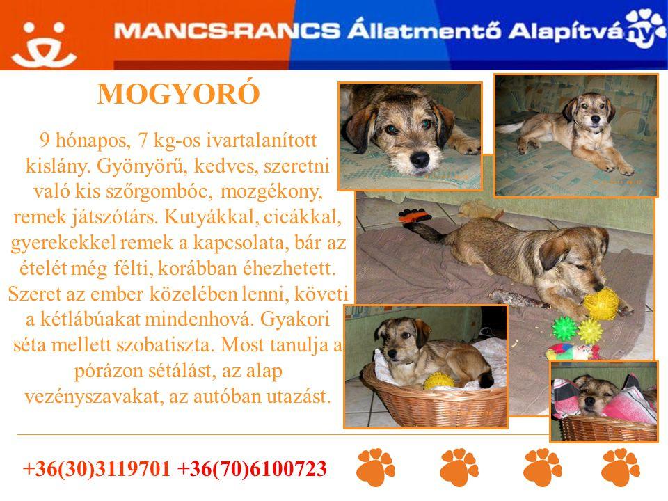 +36(30)3119701 +36(30)2673801 PAJTI 5 éves, kisebb méretű ivartalanított kan kutyus, a gazdája halála miatt maradt árván.
