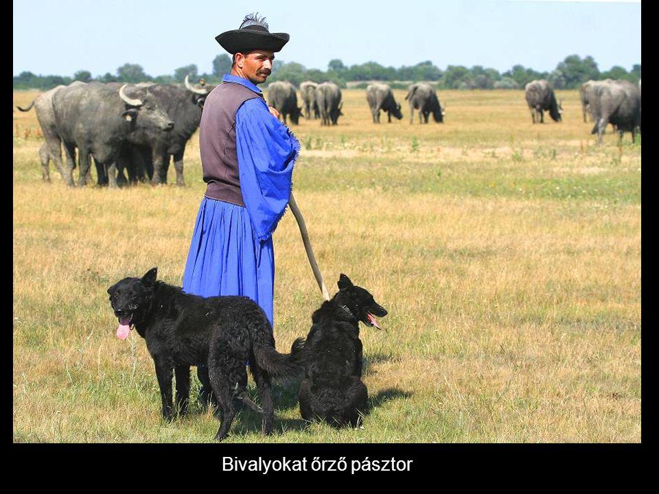 Bivalyokat őrző pásztor